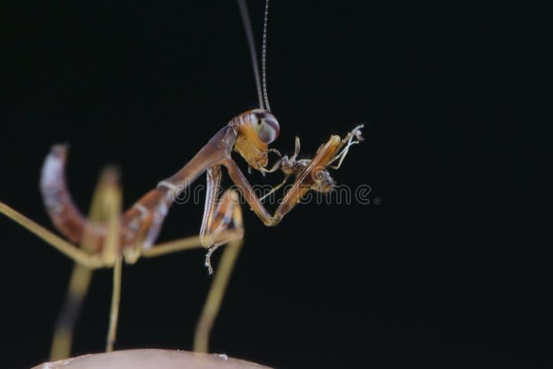 Fim extremo do inseto comer da louva-a-deus de Mantodea acima imagens de stock royalty free