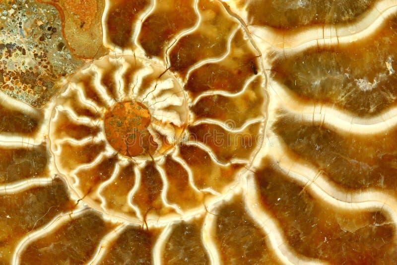 Fim fóssil bonito do nautilus acima fotografia de stock
