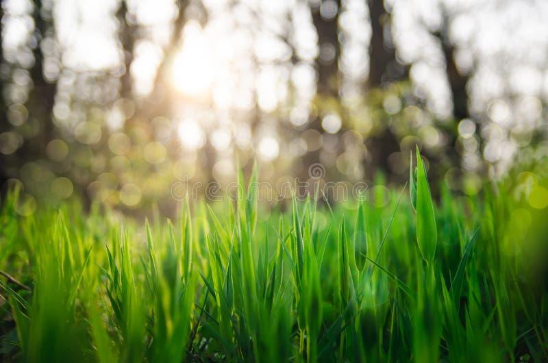 Fim fresco da grama verde acima com fundo do bokeh imagem de stock royalty free