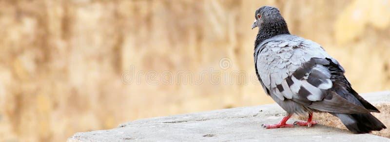 Fim indiano apenas cinzento do pombo acima foto de stock