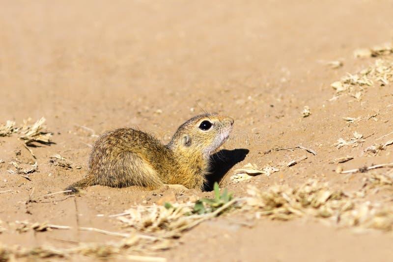Fim juvenil do esquilo à terra acima imagens de stock