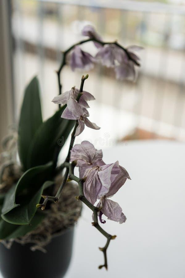 Fim lilás murcho da orquídea acima no vaso na tabela fotografia de stock