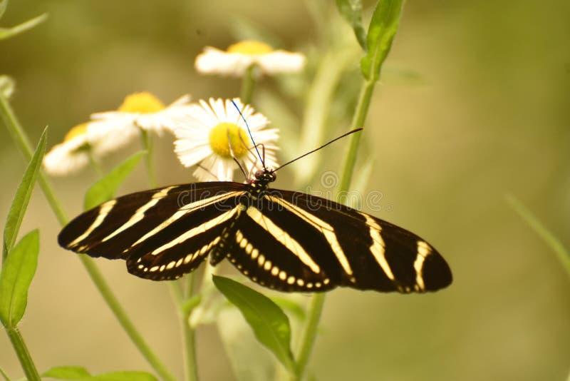 Fim lindo acima de uma borboleta da zebra no Sun foto de stock royalty free