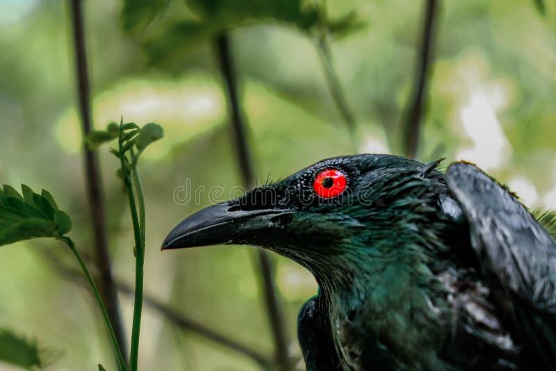 Fim lustroso asiático preto do estorninho acima em seus olhos vermelhos fotografia de stock