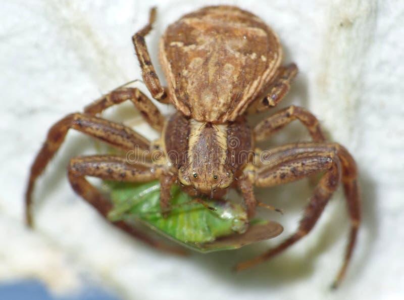 Fim macro acima de uma aranha do caranguejo comum que come o erro verde do voo, foto recolhida o Reino Unido fotografia de stock