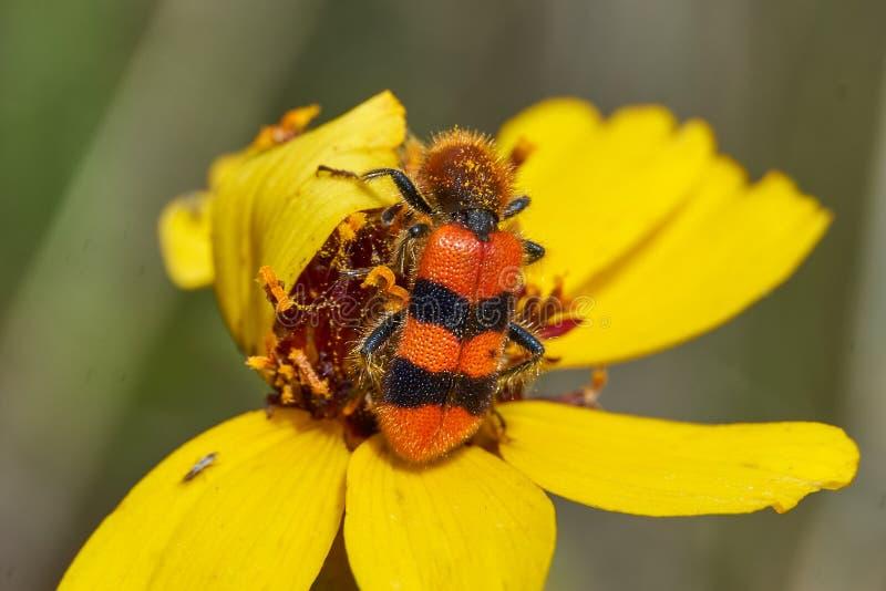 Fim macro acima do apiarius quadriculado alaranjado de Trichodes do besouro em uma flor dura de Greenthread Texas ocidental foto de stock royalty free