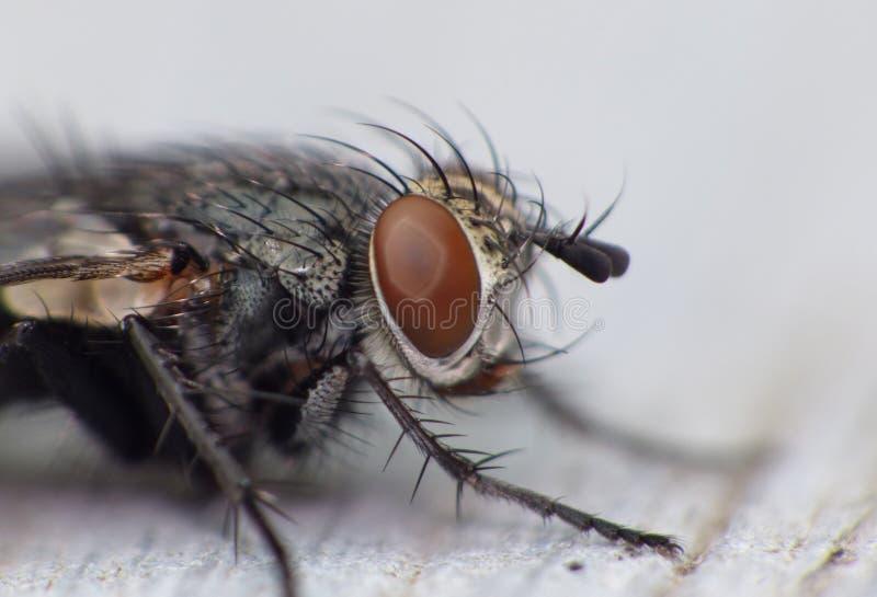 Fim macro acima do tiro do detalhe de uma mosca comum da casa com os olhos vermelhos grandes recolhidos o Reino Unido foto de stock royalty free