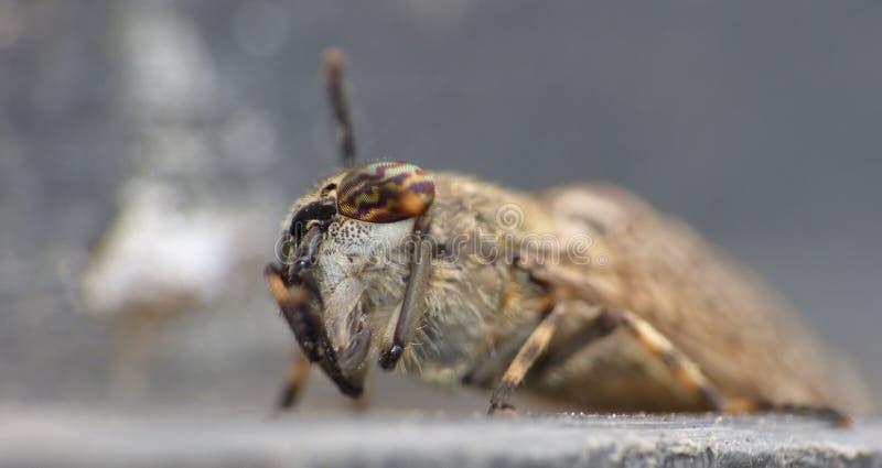 Fim macro acima dos maculicornis Estreito-voados de um Tabanus do tabanídeo que sentam-se sobre uma tampa do escaninho, recolhido foto de stock
