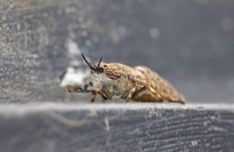 Fim macro acima dos maculicornis Estreito-voados de um Tabanus do tabanídeo que sentam-se sobre uma tampa do escaninho, recolhido imagens de stock