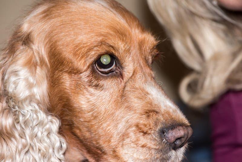 Fim macro do detalhe do nariz de cão acima imagem de stock