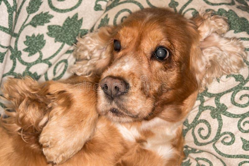 Fim macro do detalhe do nariz de cão do cachorrinho acima fotos de stock