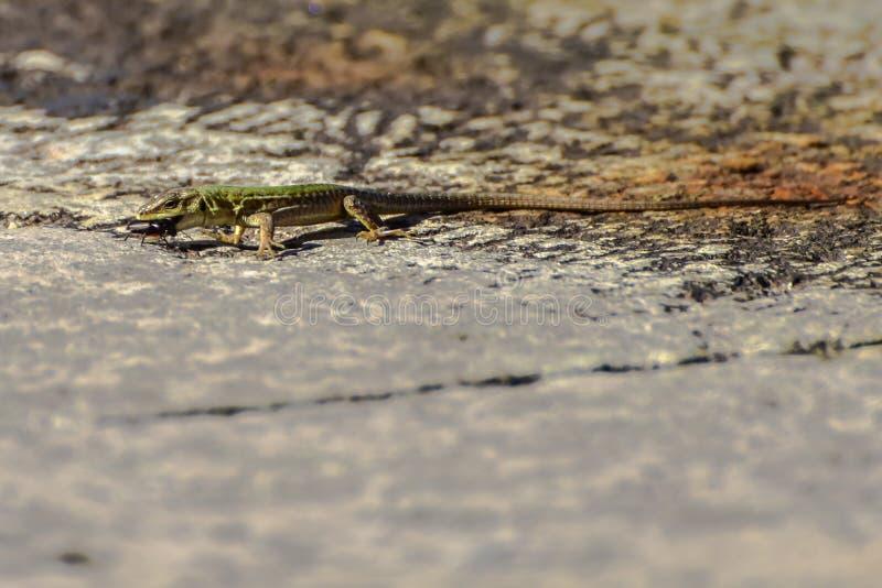 Fim macro dos animais selvagens acima do tiro de um lagarto que caça um erro fotografia de stock