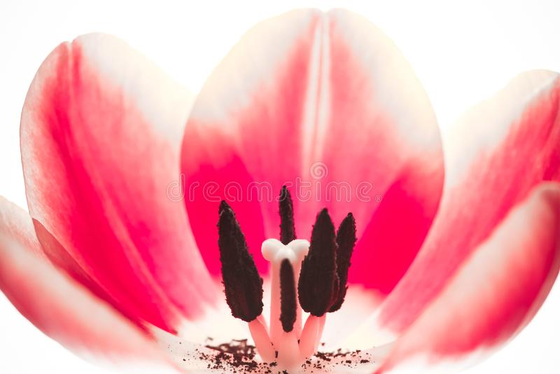 Fim macro extremo da flor vermelha cor-de-rosa da tulipa acima Flor interna da tulipa dos detalhes com pistilo, estame, filamento imagens de stock