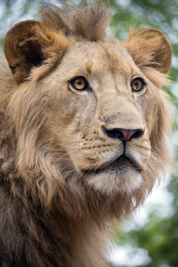 Fim masculino novo do leão acima do retrato, África do Sul fotos de stock royalty free