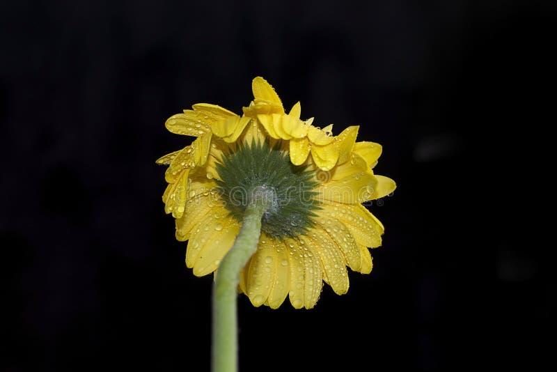 Download Fim Muito Consideravelmente Amarelo Do Gerber Acima Imagem de Stock - Imagem de três, árvore: 107525489