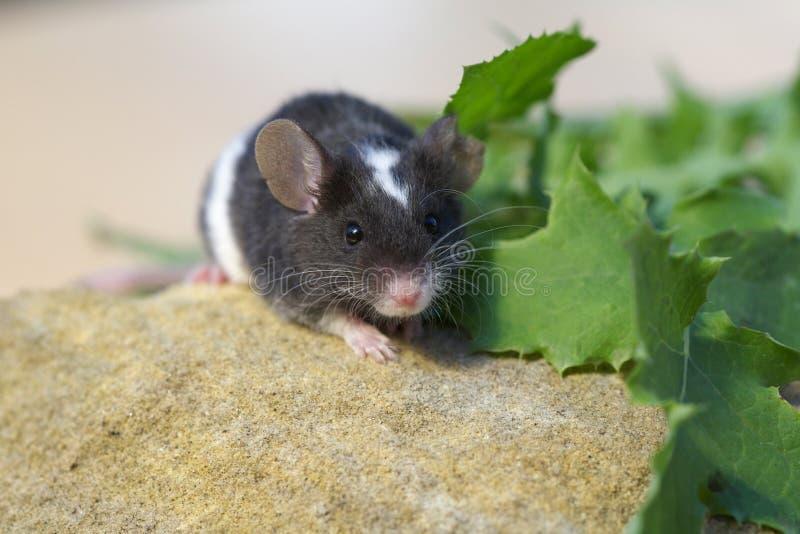 Fim pequeno bonito do rato do animal de estimação acima foto de stock