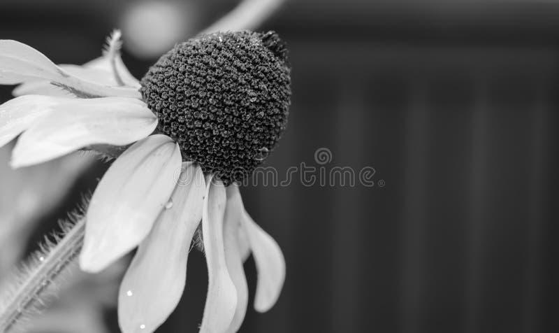 Fim preto e branco acima da foto de um fundo molhado do cinza do wildflower foto de stock