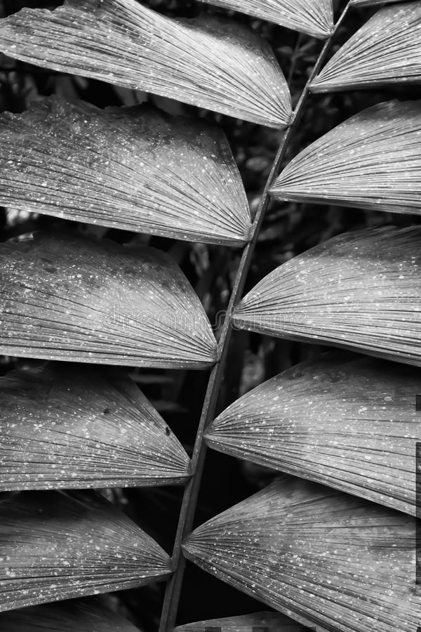 Fim preto e branco acima das texturas na fronda Costa Rica da palma imagem de stock royalty free