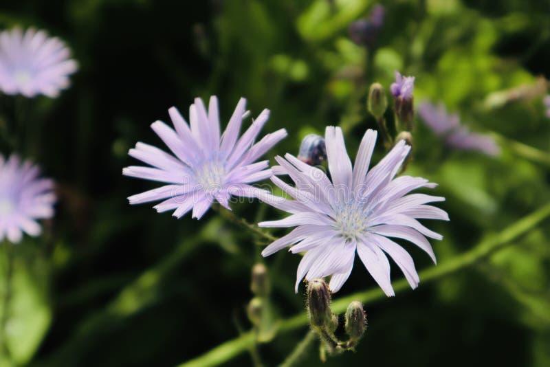 Fim roxo bonito das flores brancas acima da flor selvagem de florescência da flor fotografia de stock