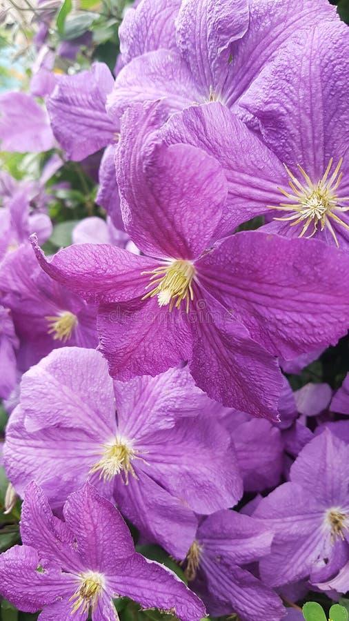 Fim roxo bonito do ger?nio do divertimento acima das flores do jardim fotos de stock royalty free