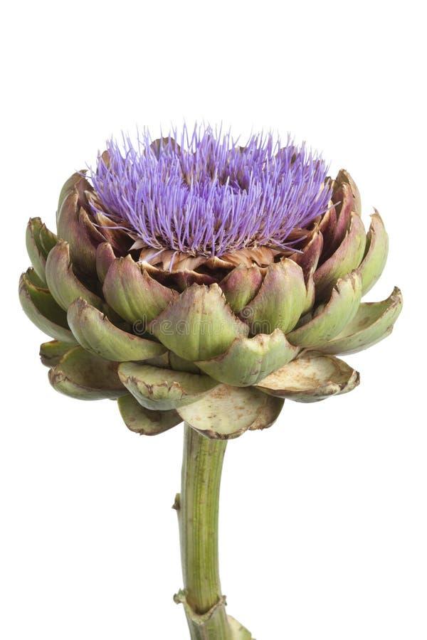 Fim roxo da flor da alcachofra acima fotografia de stock
