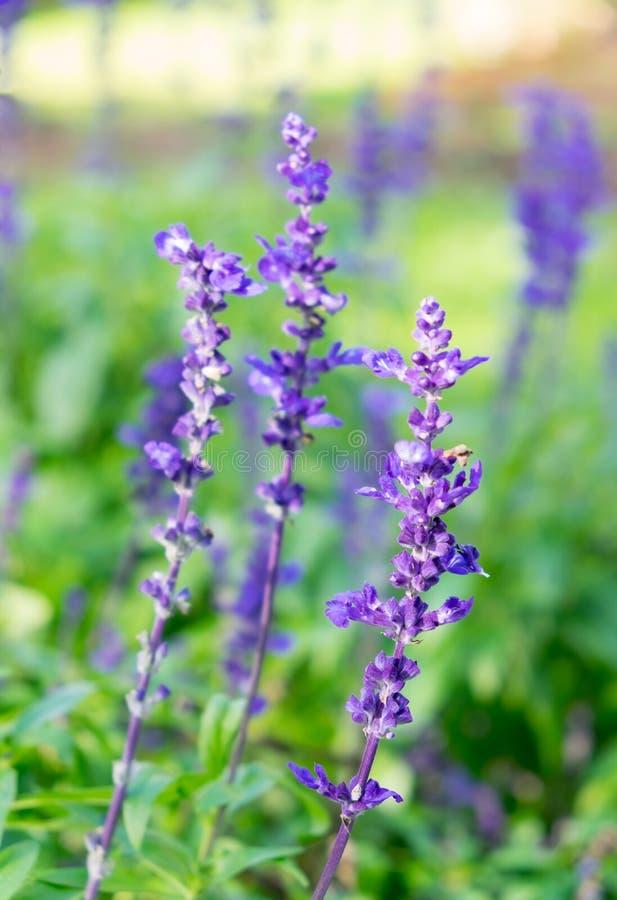 Fim roxo da flor da alfazema acima no jardim imagem de stock