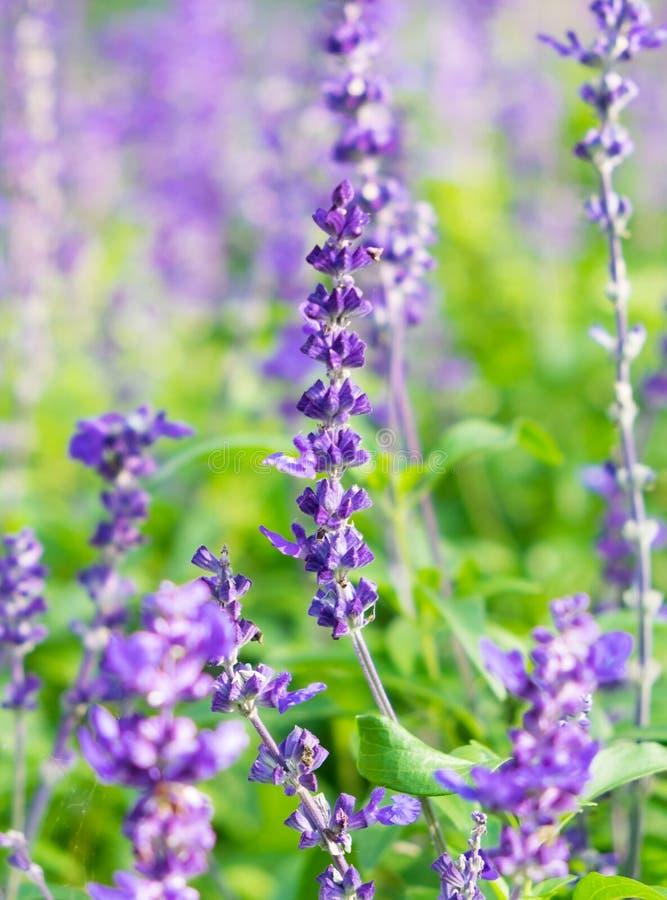 Fim roxo da flor da alfazema acima no jardim fotos de stock royalty free
