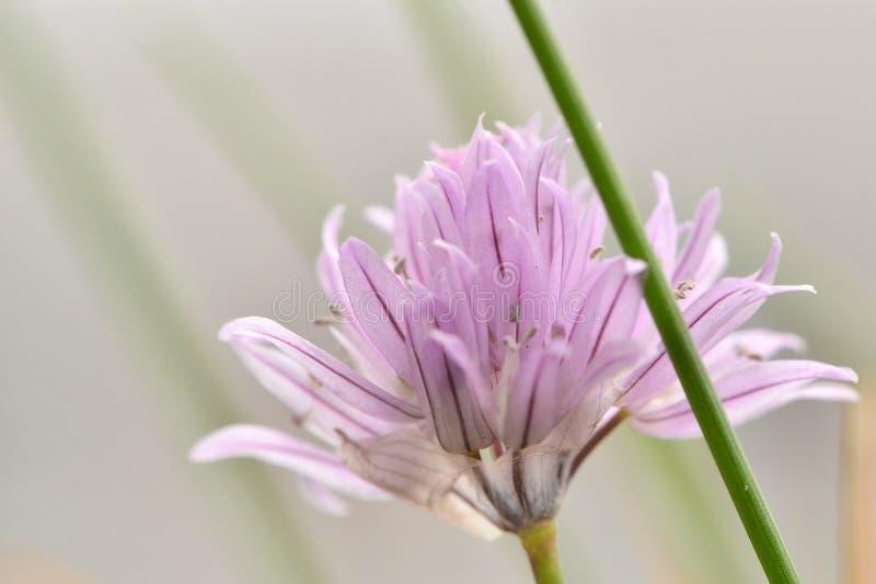 Fim roxo da flor do cebolinho acima imagem de stock royalty free