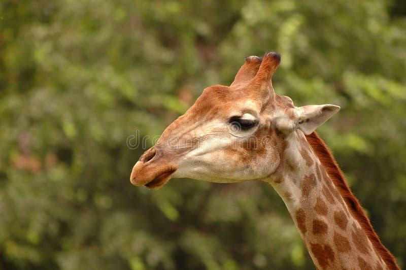 Fim selvagem novo bonito do girafa acima do retrato Girafa triste Safari selvagem da vida de África Girafas mundialmente famosos  fotos de stock royalty free