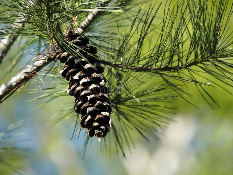 Fim solitário do pinecone acima com verde silenciado e fundo azul foto de stock royalty free