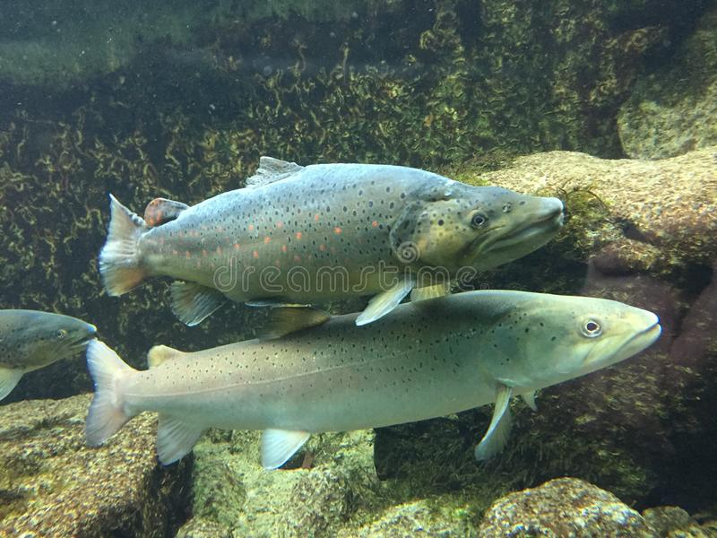 Fim subaquático acima da truta marrom e dos salmões de Danúbio imagens de stock