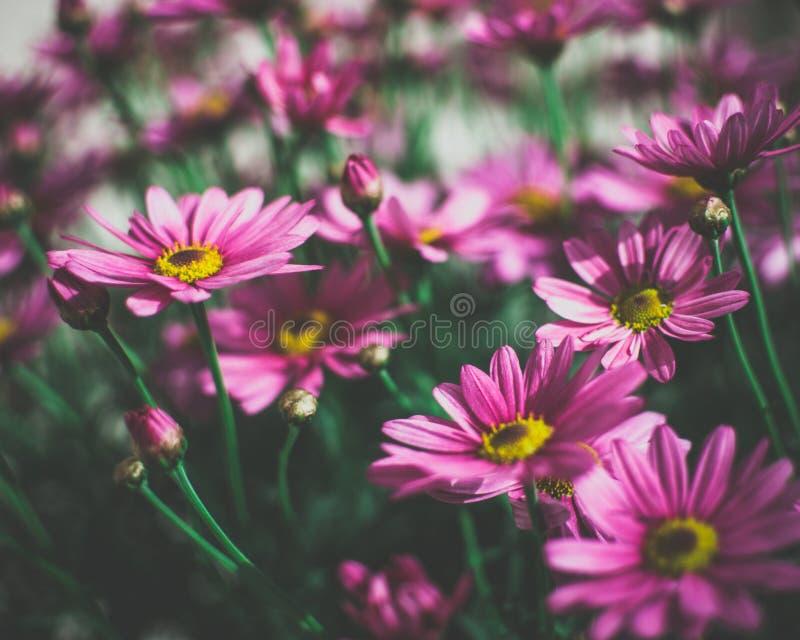 Fim temperamental acima de margaridas cor-de-rosa bonitas imagem de stock