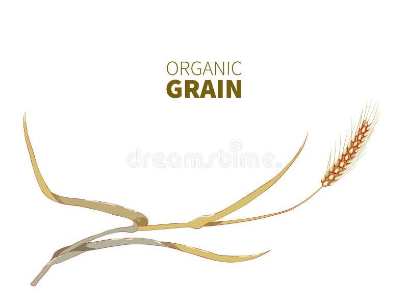 Fim tirado mão do spikelet do centeio ou do trigo acima no fundo branco ilustração stock