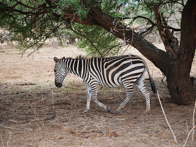 Fim-u da zebra no safari de Tarangiri - Ngorongoro fotografia de stock royalty free