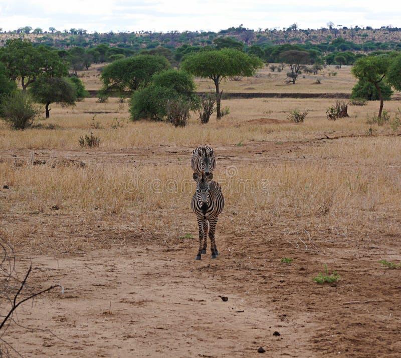 Fim-u da zebra no safari de Tarangiri - Ngorongoro fotos de stock royalty free