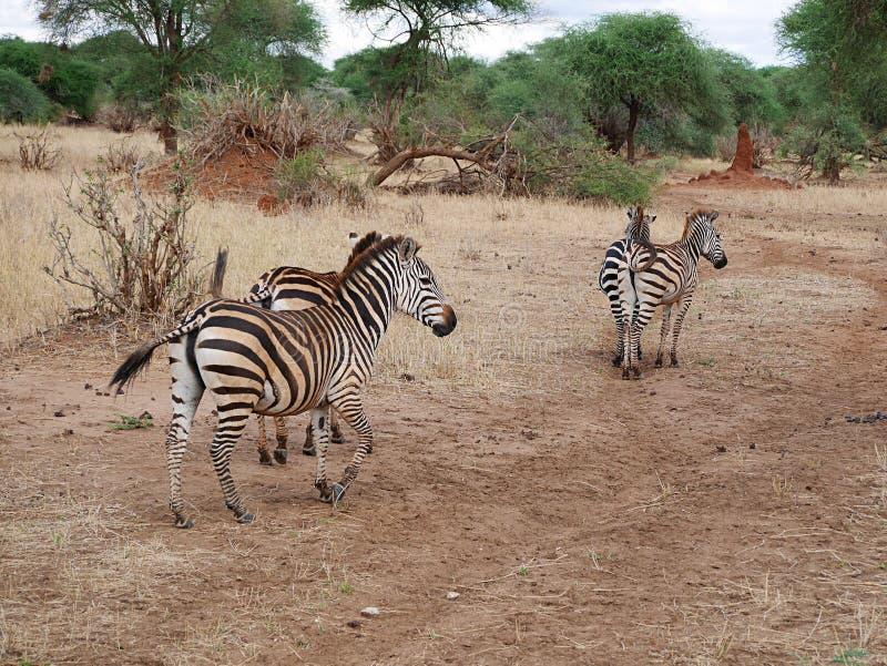 Fim-u da zebra no safari de Tarangiri - Ngorongoro foto de stock