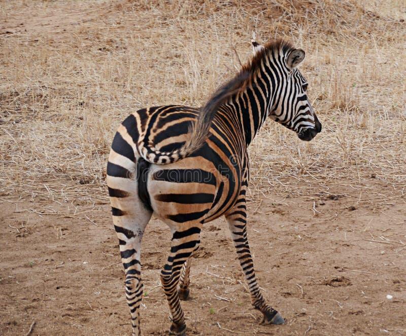 Fim-u da zebra no safari de Tarangiri - Ngorongoro imagens de stock royalty free