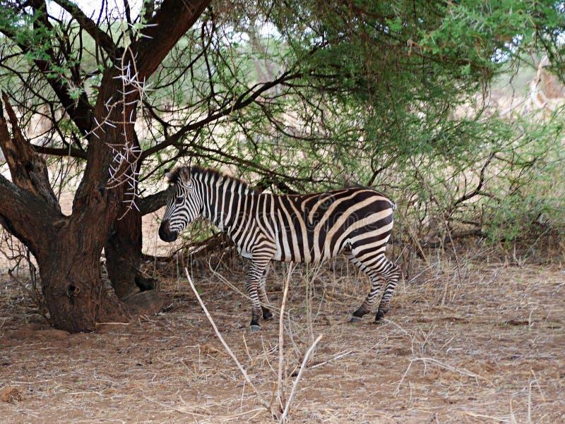 Fim-u da zebra no safari de Tarangiri - Ngorongoro imagens de stock