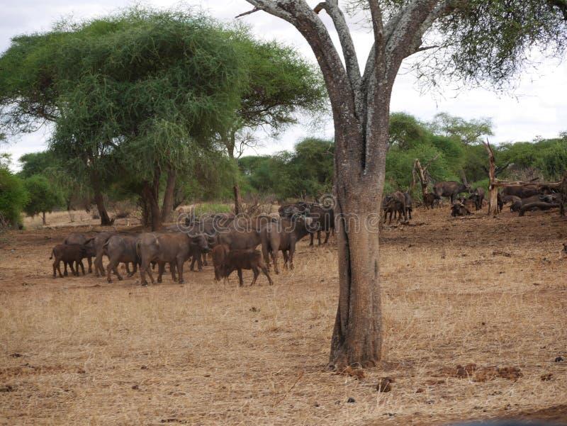 Fim-u do elefante no safari de Tarangiri - Ngorongoro imagens de stock