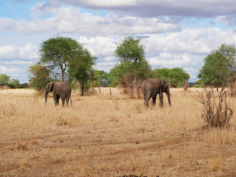 Fim-u do elefante no safari de Tarangiri - Ngorongoro imagem de stock