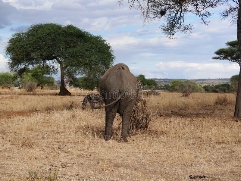 Fim-u do elefante no safari de Tarangiri - Ngorongoro fotos de stock royalty free