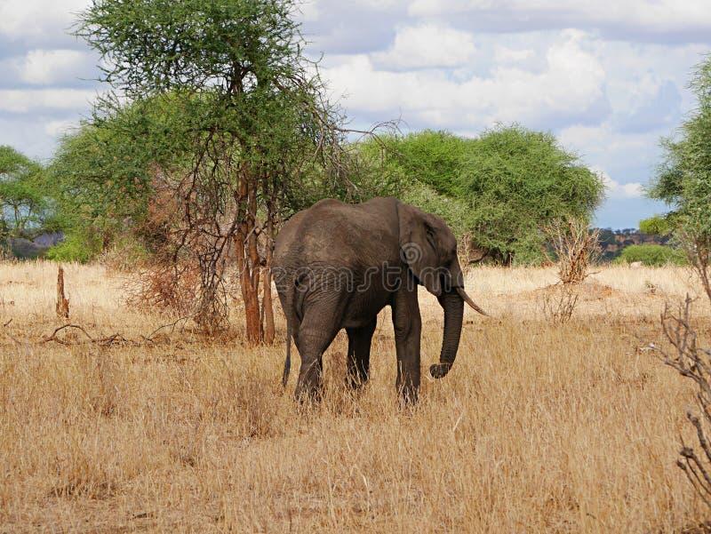 Fim-u do elefante no safari de Tarangiri - Ngorongoro fotografia de stock royalty free
