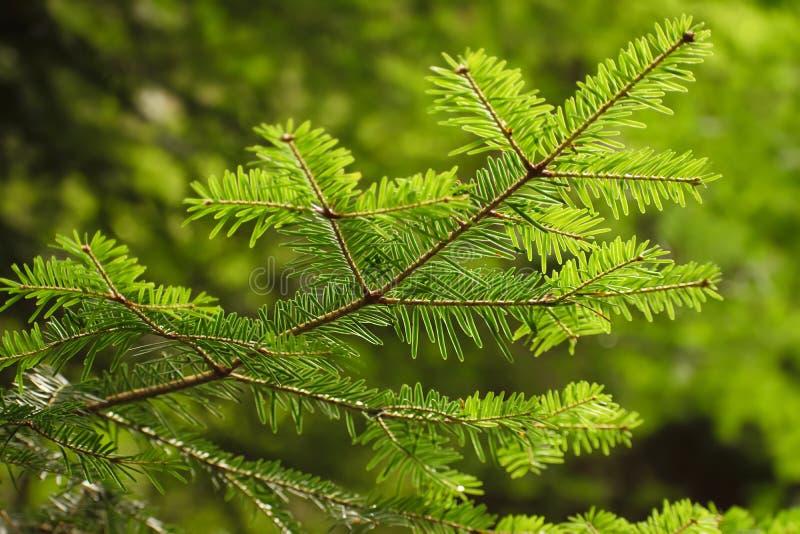 Fim verde bonito da refeição matinal do pinheiro acima fotografia de stock royalty free