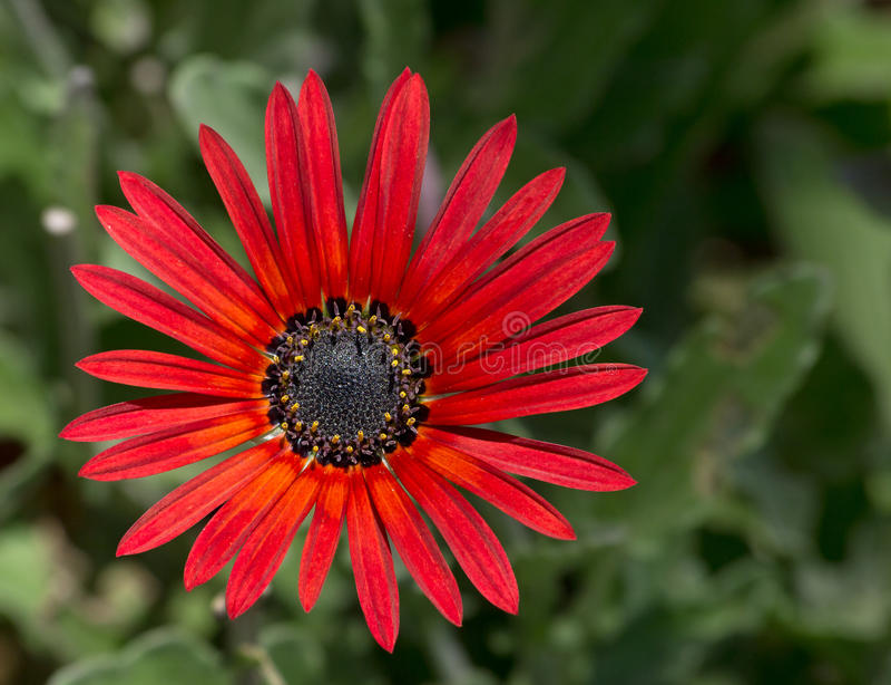 Fim vermelho da flor da margarida acima. fotos de stock royalty free