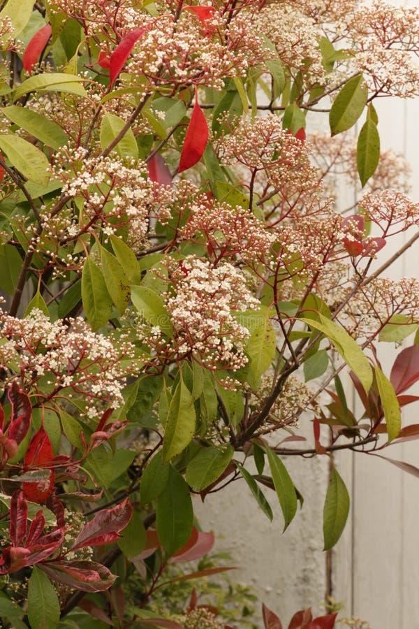 Fim vermelho do arbusto do pisco de peito vermelho do Photinia acima fotos de stock