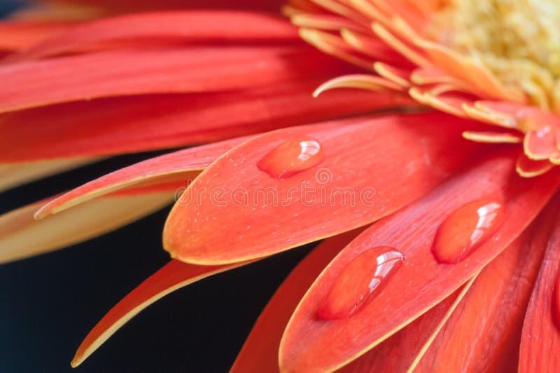Fim vermelho e amarelo da flor do Gerbera acima sobre o fundo preto fotografia de stock