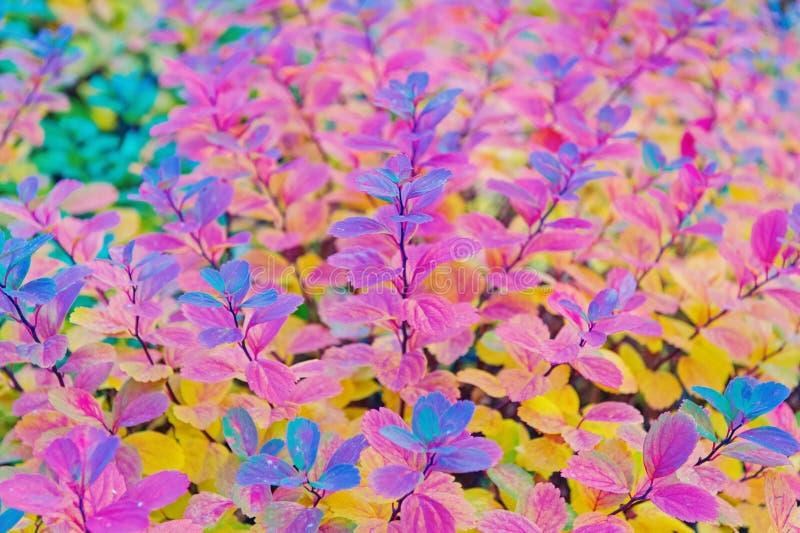 Fim vermelho e colorido do ramo das folhas acima Esta??o do outono Folhas de outono coloridas Influ?ncias do fen?meno da cor da f imagens de stock royalty free