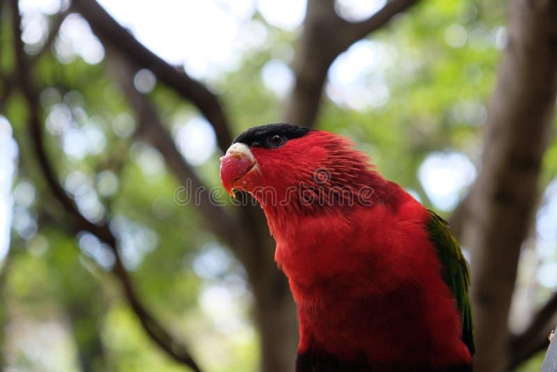 Fim vermelho, verde e preto do periquito acima fotos de stock royalty free
