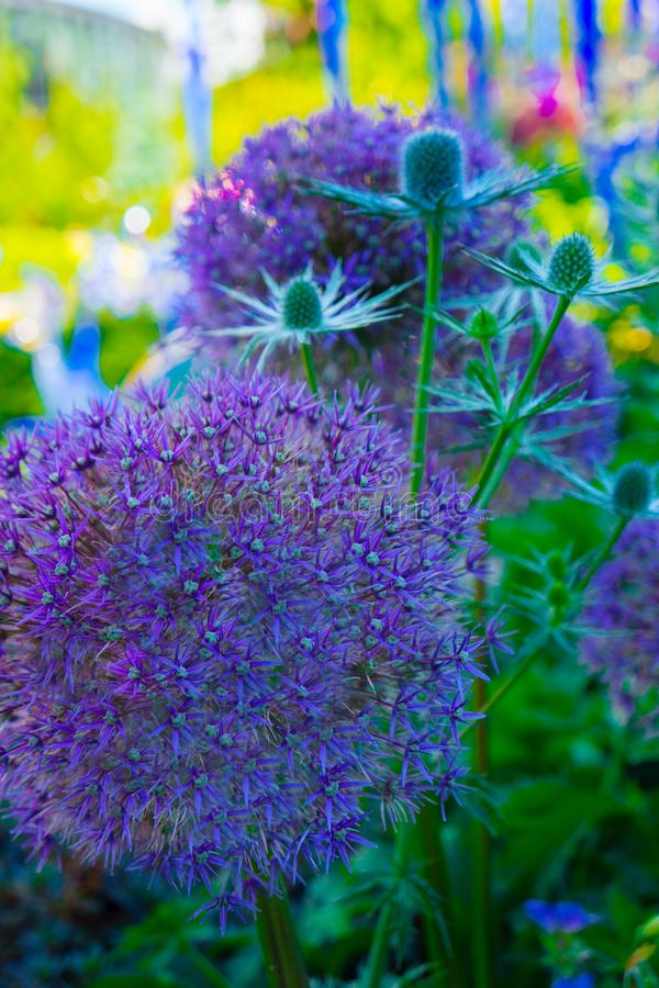 Fim vertical acima do Allium Pom Pom no fundo do borrão do jardim imagens de stock