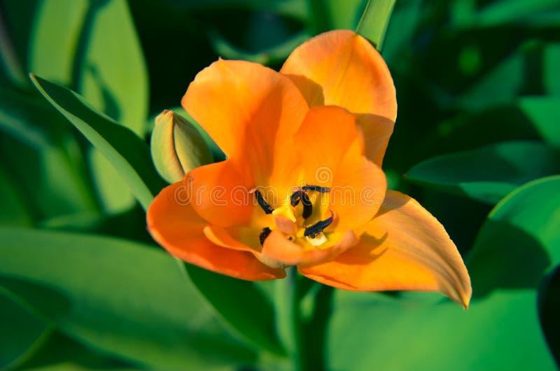 Fim vibrante acima nas pétalas alaranjadas da tulipa bonitas imagens de stock royalty free